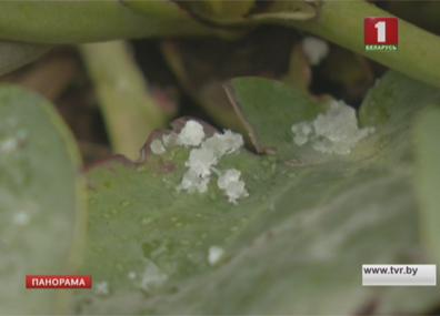 Такого холодного мая не было в Беларуси около 30 лет Такога халоднага мая не было ў Беларусі каля 30 гадоў