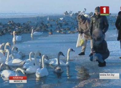 В Минске остались зимовать более тысячи водоплавающих птиц У Мінску засталіся зімаваць больш як тысяча вадаплаўных птушак More than thousand waterfowl winter in Minsk