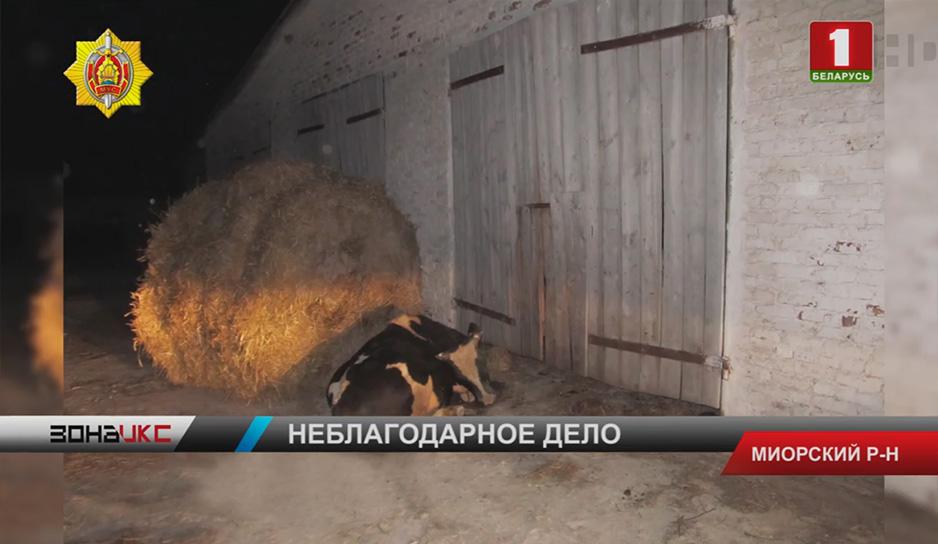Криминальный дуэт в Миорском районе погорел на краже бычка