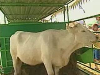 На агропромышленной неделе презентуют инновации в животноводстве На аграпрамысловым тыдні дэманструюць інавацыі ў жывёлагадоўлі