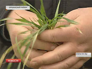В этом году на счету аграриев Беларуси рекордный урожай хлеба Сёлета  на рахунку аграрыяў Беларусі рэкордны ўраджай збожжа
