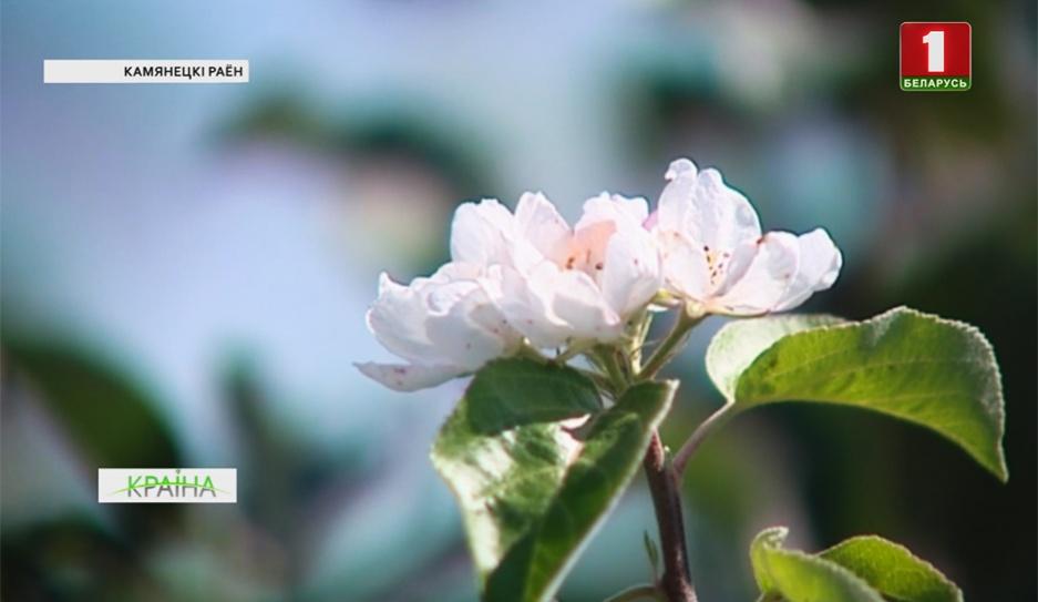 В Каменецком районе в августе зацвела яблоня У Камянецкім раёне ў жніўні зацвіла яблыня