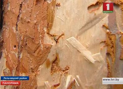 В двух лесхозах - Лельчицком и Милошевичском - нашествие жука-короеда