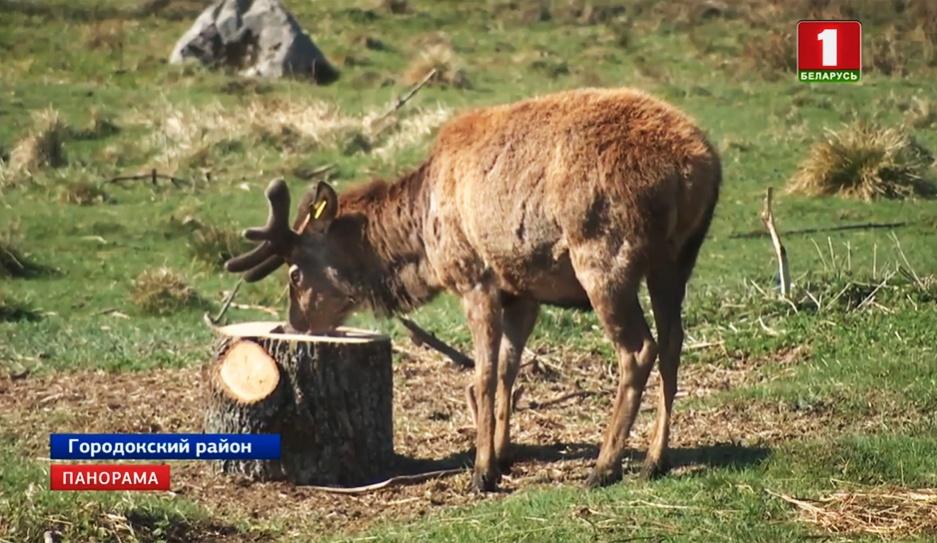 В Городокском районе создан питомник оленей У Гарадоцкім раёне створаны гадавальнік аленяў