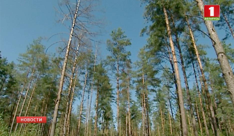 Профессиональный праздник отмечают все, чья работа связана с лесной отраслью Прафесійнае свята адзначаюць усе, чыя праца звязаная з лясной галіной
