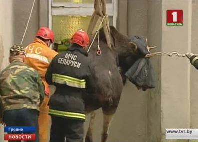 В Гродно спасли лося У Гродне выратавалі лася