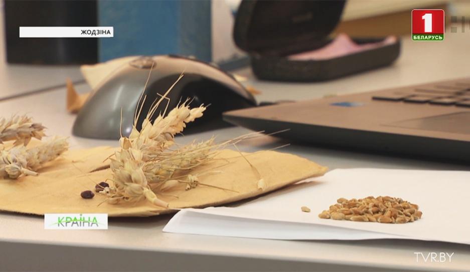 Институт земледелия разрабатывает новые виды семян для получения высокоурожайных сортов Інстытут земляробства распрацоўвае новыя віды  насення  для атрымання высокаўраджайных сартоў