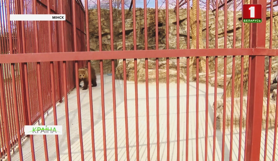 В Минский зоопарк доставили бурую медведицу У сталічны заапарк даставілі бурую мядзведзіцу