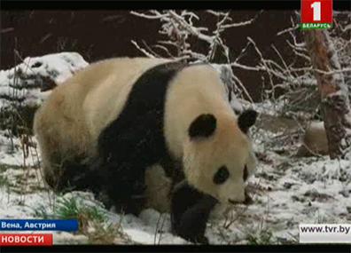 Панды-близнецы Фу Фэн и Фу Бан в зоопарке Вены в первый раз увидели снег Панды-двайняты Фу Фэн і Фу Бан у заапарку Вены першы раз убачылі снег