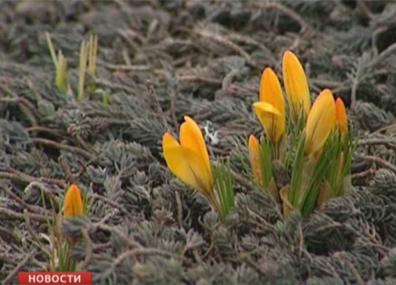 В центре Витебска расцвели крокусы У цэнтры Віцебска зацвілі крокусы