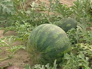 Вслед за зерном - овощи Услед за зернем - гародніна
