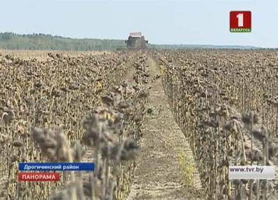 На юге страны аграрии приступили к уборке подсолнечника На поўдні краіны аграрыі пачалі ўбіраць сланечнік Farmers started harvesting sunflower seeds in the south of the country