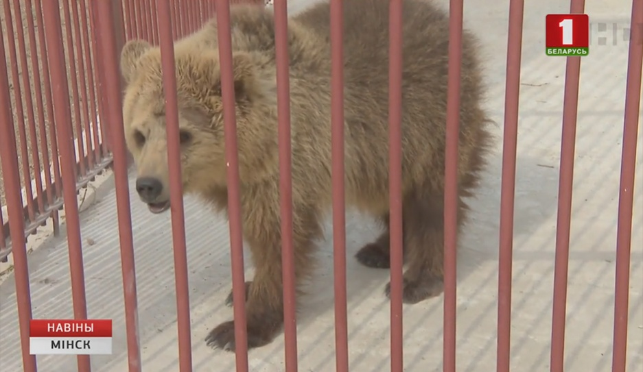 В Минский зоопарк из Пензы доставили бурую медведицу У Мінскі заапарк даставілі бурую мядзведзіцу