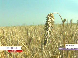 Полтора миллиона тонн зерна в закромах Центрального региона Паўтара мільёна тон збожжа ў засеках Цэнтральнага рэгіёна