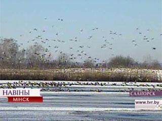 На зимовку на Минщине осталось более 20 тысяч водоплавающих птиц На зімоўку на Міншчыне засталіся больш за 20 тысяч вадаплаўных птушак
