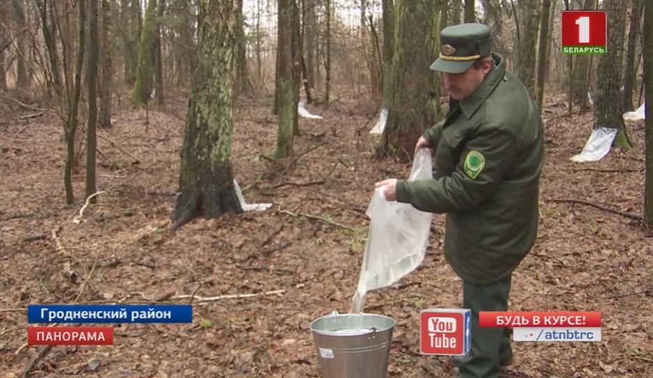 В Гродненской области уже приступили к заготовке березового сока  У Гродзенскай вобласці пачалі нарыхтоўку бярозавіку