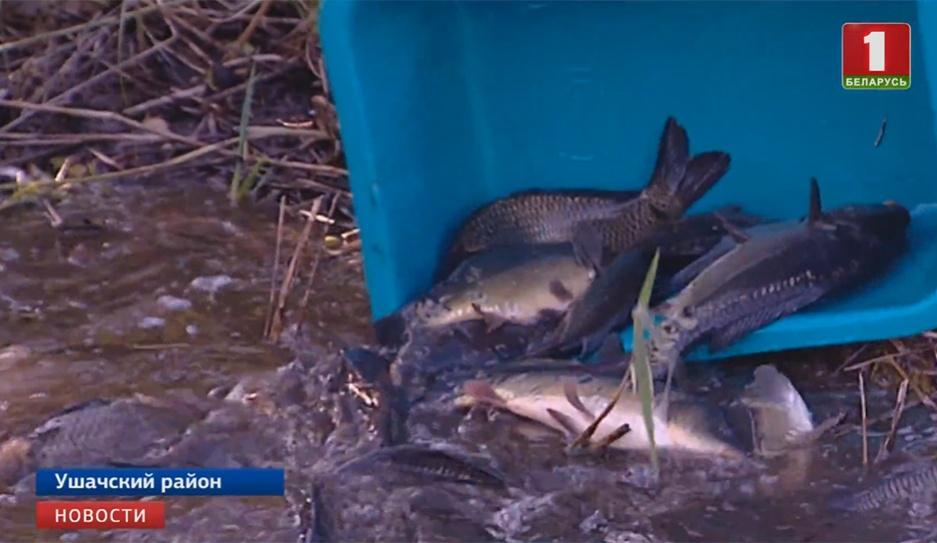 Без малого шесть тонн рыбы выпустили в озера Витебской области Амаль шэсць тон рыбы выпусцілі ў азёры Віцебскай вобласці