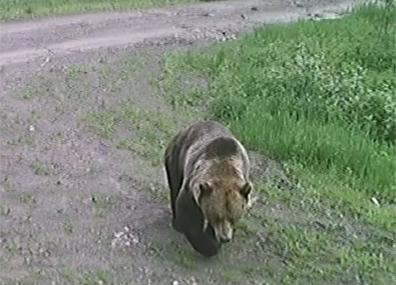 Жителей деревни Пукшино пугает бурый медведь  Жыхароў вёскі Пукшына палохае буры мядзведзь