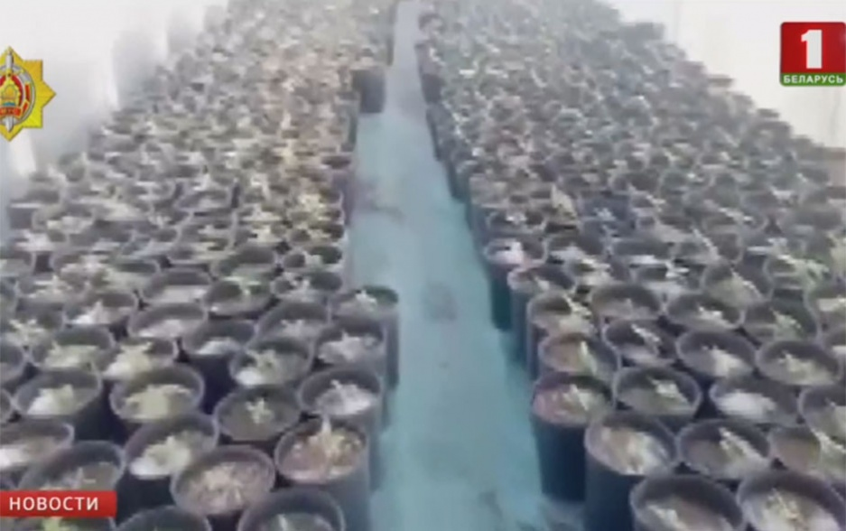 Плантация конопли в Кареличском районе Плантацыя канопляў у Карэліцкім раёне