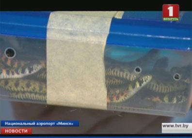 В Национальном аэропорту Минск у пассажира нашли экзотических животных  У Нацыянальным аэрапорце Мінск у пасажыра знайшлі экзатычных жывёл