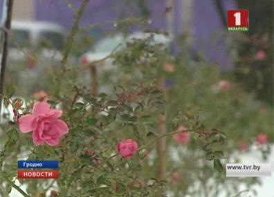 В Гродно в декабре зацвели алые и красные розы У Гродне ў снежні зацвілі пунсовыя і чырвоныя ружы