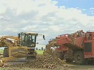 В Минской области началась уборка сахарной свеклы У Мінскай вобласці пачалася ўборка цукровых буракоў