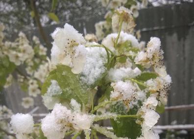 Праздничный майский снег