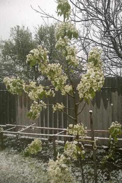 Праздничный майский снег в г.п. Зельва. Гродненская область