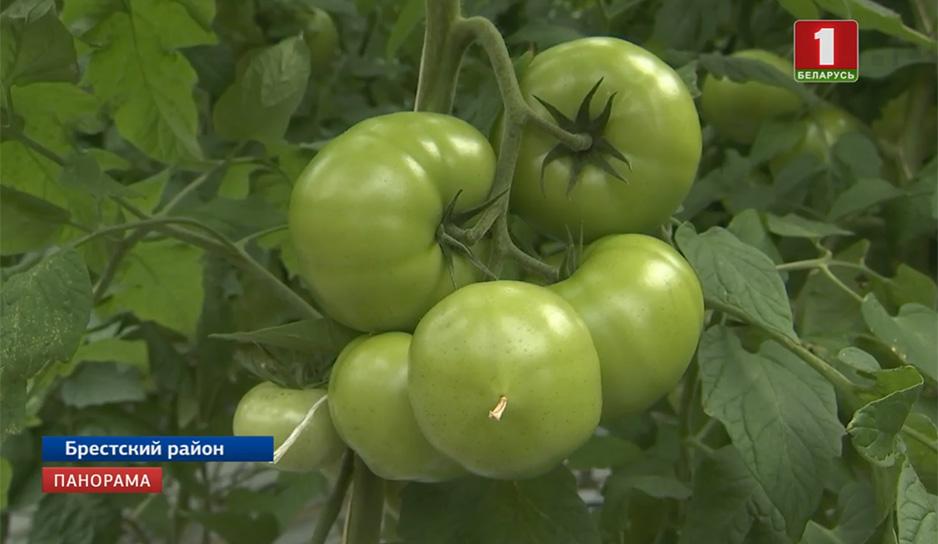 Тепличные помидоры напоминают лес