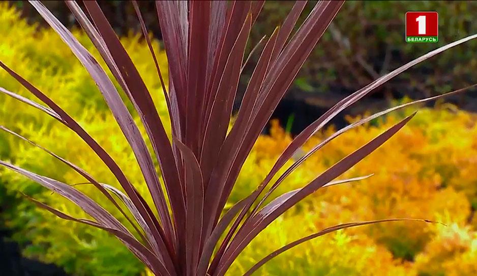 Новозеландский лен любит солнце и обильный полив