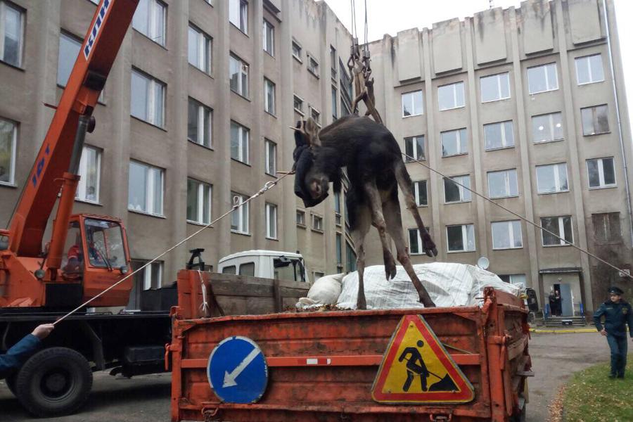 В-Гродно-спасают-лося