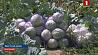 Аграрии собирают овощи. Каким будет урожай в Брестском регионе