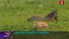 Дикий олень поселился в Чижовке