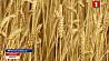 Минская область в этом году получит урожай зерновых не менее одного миллиона семисот тысяч тонн