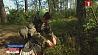 В Минской области начался сезон сбора клюквы У Мінскай вобласці пачаўся сезон збору журавін