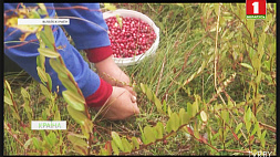 С начала сентября в Минской области заготовили 10 тонн клюквы З пачатку верасня ў Мінскай вобласці нарыхтавалі 10 тон журавін