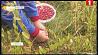 С начала сентября в Минской области заготовили 10 тонн клюквы