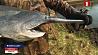 Американского веслоноса начали разводить на Вилейщине Амерыканскага весланоса пачалі разводзіць на Вілейшчыне