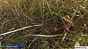 В Минской области продолжается сезон сбора клюквы  У Мінскай вобласці працягваецца сезон збору журавін