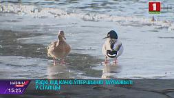 Редкий вид утки впервые заметили в столице Рэдкі від качкі ўпершыню заўважылі ў сталіцы