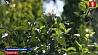 В Каменецком районе в августе расцвела яблоня