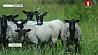 Фермеры северного региона страны все больший интерес  проявляют к овцеводству Фермеры паўночнага рэгіёна краіны ўсё большую цікавасць  праяўляюць да авечкагадоўлі