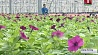 Полтора миллиона цветов для озеленения Минска Паўтара мільёна кветак для азелянення Мінска