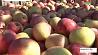 Под Молодечно фермеры собирают до 50 килограммов яблок с дерева Пад Маладзечна фермеры збіраюць да 50 кілаграмаў яблыкаў з дрэва
