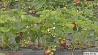 Борисовский район претендует на звание лидера по выращиванию клубники Барысаўскі раён прэтэндуе на званне лідара па вырошчванні клубніц