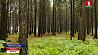 В этом ягодно-грибном сезоне в лесах Минской области заблудились 14 человек  У гэтым ягадна-грыбным сезоне ў лясах Мінскай вобласці заблудзілі 14 чалавек