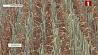 В Гродненской области высохли сотни гектаров зерновых У Гродзенскай вобласці пасохлі сотні гектараў зерневых
