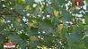 Массовое цветение тюльпанового дерева началось в Ботаническом саду Минска