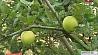 В последние дни августа зацвели яблони У апошнія дні жніўня зацвілі яблыні