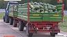 Сегодня был собран первый урожай арбузов с президентской бахчи  Сёння быў сабраны першы ўраджай кавуноў з прэзідэнцкай бахчы